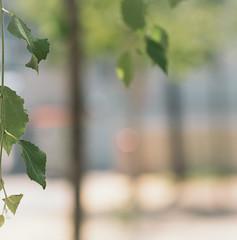 Birke f4 (Watcher/124) Tags: basel dreispitz biologie bokeh leafs plantae switzerland trees