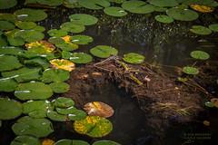 Lake Bottom Up (PhotoArtMarie) Tags: lilypads water green yellow black much