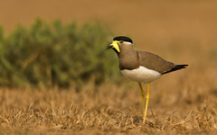 Yellow-wattled lapwing (SUNITPICS) Tags: yellowwattledlapwing lapwing vanellusmalabaricus vanellus bird speices canon550d tamron150600 telephoto zoom kiss rebel t2i india uttarpradesh fauna iit brown yellow bokeh