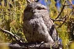 Eyes wide open (Luke6876) Tags: tawnyfrogmouth frogmouth bird animal wildlife australianwildlife