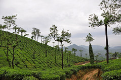 Tea gardens in Kerala, South India (natureloving) Tags: teagarden teaestate nature kerala india natureloving nikon d90