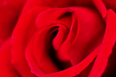 Just a rose ...... (detlefgabriel17) Tags: rose macro makro red rot blte blossom plant pflanze blume flower