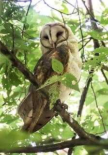 Barn Owl-0639
