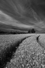 Wheat Field (Michelle Tuttle) Tags: wheat field crop farm farmer blackandwhite mono monochrome contrast texture light dark black white nature countryside uk england bromsgrove worcestershire converge lines vanishingpoint focus