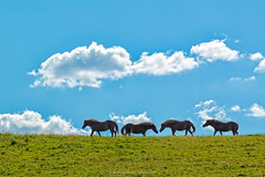 Heste, Ormslev 2016 (Appaz Photography ) Tags: animals appazphotography denmark dyr hest heste horse horses jylland mammals ormslev pattedyr rhus