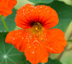 Cress (Timo Halonen) Tags: cress karassi orange oranssi kukka tokina 100mm macro nikon dx d5200