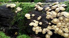 fungi everywhere (photos4dreams) Tags: spaziergang walk feld wald wiese forest trees bume photos4dreams p4d photos4dreamz landschaft landscape pilz pilze fungi fungus mushroom mushrooms