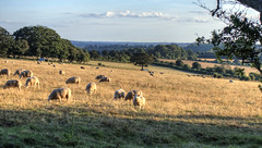 Sheep near Winchester (neilalderney123) Tags: 2016neilhoward sheep landscape winchester rural farm