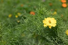 DSC02163 (Zengame) Tags: hamarikyu hamarikyugardens rx rx1 rx1r rx1rm2 rx1rmark2 sony zeiss cc cosmos creativecommons flower japan tokyo           jp