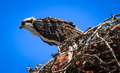 Osprey Profile (http://fineartamerica.com/profiles/robert-bales.ht) Tags: birds forupload gemcounty haybales idaho osprey people photo places projects states toworkon pandionhaliaetus seahawk fisheagle fishhawk raptors birdofprey migratorybird falconry monogamous wildlife nature bird fishing wild sky predator birdwatching ornithology animal flight feather hawk talons claws fisheaglehaybales canonshooter protectedbird rapor aves hunters birdphotography scenic sensational spectacular awesome magnificent peaceful soaring migrate fishers flying robertbales iphone profile