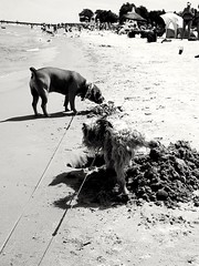 beach buddies (Bubble & Nikko) (williamw60640) Tags: dogs pets beach sand water umbrella lakemichigan fosteravebeach bathers sun wind waves swimmers trees lifeguardstand pier leash pee hole