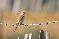 Red-backed Shrike(juv)-6410-3 (kevinmayhew62) Tags: redbackedshrike laniuscollurio