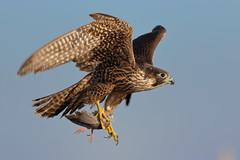 P. Falcon (bmse) Tags: juvenileperegrinefalcon dove talons bolsachica prey canon 7d2 400mm f56 l bmse salah baazizi wingsinmotion