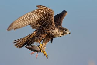 P. Falcon