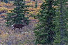Caribou - Denali National Park (Sinar84 - www.captures.ch) Tags: 2016 alaska animal august black blue bushes caribou clouds denali denalinationalpark foliage gras green grey hills landscape lastfrontier mountains nationalpark nature orange red sky summer trees usa white yellow