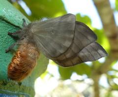 Hylesia nigricans (Helio Lourencini) Tags: hylesianigricans butterfly animal aoarlivre macro inseto borboleta coresvivas worldbest explore flor planta paudalho pernambuco wild wildlife selvagem forest floresta mataatlantica