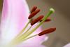 20160925_044_2 (まさちゃん) Tags: 雌蕊 雌しべ 雄蕊 雄しべ ユリ 百合 花粉