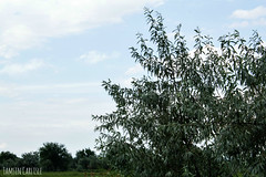 Almond-leaved Willow (tinlight7) Tags: willow trees kyrgyzstan landscape taxonomy:kingdom=plantae plantae taxonomy:superphylum=tracheophyta tracheophyta taxonomy:phylum=magnoliophyta magnoliophyta taxonomy:class=magnoliopsida magnoliopsida taxonomy:order=malpighiales malpighiales taxonomy:family=salicaceae salicaceae taxonomy:genus=salix salix taxonomy:species=triandra taxonomy:binomial=salixtriandra salgueirocomfolhasdeamendoeira salixtriandra almondwillow sauletroistamines taxonomy:common=salgueirocomfolhasdeamendoeira taxonomy:common=almondwillow taxonomy:common=sauletroistamines