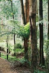 Tree fern (Matthew Paul Argall) Tags: yarraranges fern ferntree treefern pentaxmz50 kodakultramax400 400speedfilm 400isofilm autofocus