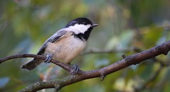 Chickadee (careth@2012) Tags: nature chickadee wildlife beak feathers perched branch