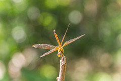 Stretching (Just_hobby) Tags: dragonfly bokeh extensiontube sonya6000 sel55210 macro animalplanet insect