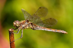 Common Darter. Dragonfly. (Wrenw17) Tags: dragonfly common darter wings post dof outdoors