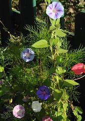 Purpur-Prunkwinde (Ipomoea purpurea); Bergenhusen, Stapelholm (2) (Chironius) Tags: stapelholm bergenhusen schleswigholstein deutschland germany allemagne alemania germania    ogie pomie szlezwigholsztyn niemcy pomienie blte blossom flower fleur flor fiore blten    asterids campanuliids solanales nachtschattenartige convolvulaceae windengewchse ipomoea prunkwinde blau rosa