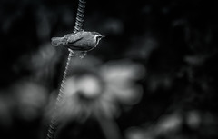 Bird-1136 (Jackx001) Tags: 2016 canada compass flowers jacknobre map ontario photography discover explore opinel pine trees