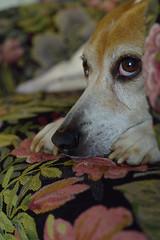 The Look (Rich Renomeron) Tags: olympusmzuiko25mmf18 olympusomdem10 beagle dog