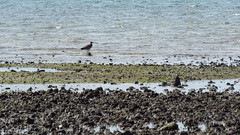 eastern curlew mjc-2016-08-16-IMG_2109 (wiccked) Tags: birding birds wellingtonpoint kingisland