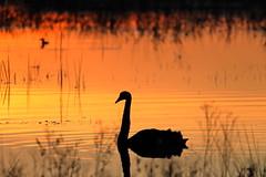 Swan at Sunrise (blachswan) Tags: wetland wetlands mullahwallahwetlands winterswamp water sunrise swan blackswan cygnusatratus