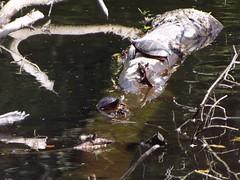 Three sun turtles (Jamie 17) Tags: water river photography photo flickr turtle scene turtles digitalphoto blackstone blackstoneriver fugi didital flickrphoto sunturtle mygearandme fugicameradigitalcamera