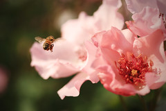 (jennifernish) Tags: pink flower rose gardens nebraska bee lincoln  hamann   jennifernish