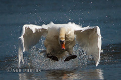 Swan on a charge. (Novisteel) Tags: summer birds flickr wildlife muteswan specanimal ngdphotos