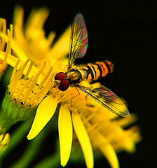 Colourful Wings (oldt1mer) Tags: flower detail macro eye nature yellow insect wings colours close sony sthelens hoverfly carrmill thegalaxy a65 carrmilldam commonragwort mygearandme mygearandmepremium mygearandmebronze mygearandmesilver mygearandmegold mygearandmeplatinum mygearandmediamond sonya65 slta65
