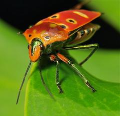 Mallotus Harlequin Bug (Cantao ocellatus, Scutelleridae) (John Horstman (itchydogimages, SINOBUG)) Tags: china orange colour macro true bug insect shield hemiptera scutelleridae sinobug