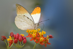 Great Orange Tip Butterfly (Jacky Parker Photography) Tags: macro nature horizontal closeup butterfly landscape one single tropical format orientation greatorangetip hebomoiaglaucippe insectwinged