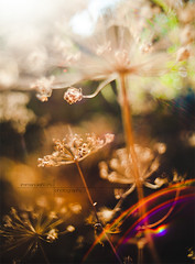 DAT dill (immi60) Tags: life autumn light sunset red summer sun white nature closeup garden dill lens colorful mood afternoon think dream beam flare moment pentacon past heavenly kapor 29mm28 canon5dmkii