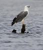 White-bellied Sea Eagle (Wild Chroma) Tags: birds srilanka haliaeetus naturetrek haliaeetusleucogaster nonpasserines leucogaster muthurajawela