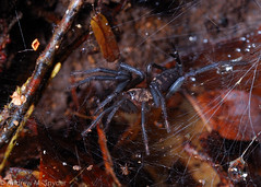 Diplurid (Andrew Snyder Photography) Tags: southamerica spider rainforest conservation guyana research jungle biology biodiversity mygalomorph iwokrama operationwallacea opwall diplurid andrewmsnyder