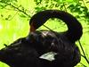 Black Swan Close Up And Beautiful-Kellie Hastings (Creative illusions-Nature Photography-Kellie H) Tags: birds blackswans thethreeangels birdsphotos requesttolicense chariotsofnaturelevel1 beautifulearth~nopeople swansinzoos blackbirdslargebirds exclusiveandnonexclusivelicenseavailabe