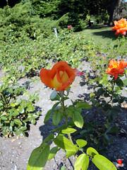 Roses - Unidentified - Rosaceae SC20120826 290 (fotoproze) Tags: roses canada rose quebec montreal rosen gül rosas rozen 2012 roser گل 玫瑰 バラ rosor mawar jardinbotaniquedemontréal rósir růže róże 장미 montrealbotanicalgardens trandafiri arrosak ruusut hoahồng τριαντάφυλλα розы गुलाब руже گلاب الورود ruže ורדים سرخ рози rózsák queenrose vrtnice róis ดอกกุหลาบ rhosynnau