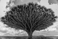 dragon's blood trees in dixam plateau, soqotra island, yemen (anthony pappone photography) Tags: pictures travel trees blackandwhite bw plants white plant black tree nature digital canon lens landscape island photography photo blackwhite flora foto image natur picture natura unesco arab arabia adan yemen arabian fotografia bottletree albero reportage photograher pianta dracaenadraco arabo yemeni phototravel yaman dracena и draceana socotra soqotra черное أبيض arabie arabiafelix اليمن arabianpeninsula cinnabari وأسود 黑與白 белое يمني 也門 سقطرى сокотра alyaman yemenpicture yemenpictures eos5dmarkii 索科特拉 alberodelsanguedidrago dracenacinnabari ソコトラ सोकोट्रा dixamplateau treesofdragonsblood dragonsbloodtrees