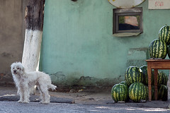 Dog and Watermelons on the street in Sagarejo, Georgia (Simon Christiaanse) Tags: street dog animals georgia streetphotography watermelon caucasus sakartvelo kakheti  sagarejo   highqualitydogs simonchristiaanse