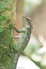 IMG_9688 copy (Kurt (orionmystery.blogspot.com)) Tags: blind reptile lizard herps angleheadlizard gonocephalusgrandis
