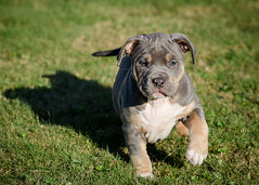 Her Name is Athena (Explored) (smartyarty41) Tags: puppy puppies nikon pitbullpuppies d5100 nikkor85mmf18g