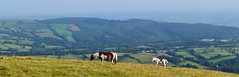 Horse and foal (Paula J James) Tags: horses horse wales carmarthenshire view breconbeacons welsh picturesque blackmountain midwales llangadog herbertsquarry