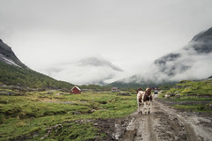Cow (koeb) Tags: trees mountains rain norway fog clouds landscape kuh cow norwegen wolken valley landschaft regen tal austerdalsbreen tungestlen