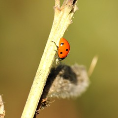 Having lunch (Elisabeth, Kelev, Tama, Mazal) Tags: nature insect ladybird ladybug lieveheersbeestje
