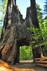 The big tree (faungg) Tags: old travel trees red green nature pine woods hiking trail national yosemite trunk inside yosemitenationalpark   grenn died           thetunnelthroughthedeadgiantinthetuolumnegroveofbigtrees